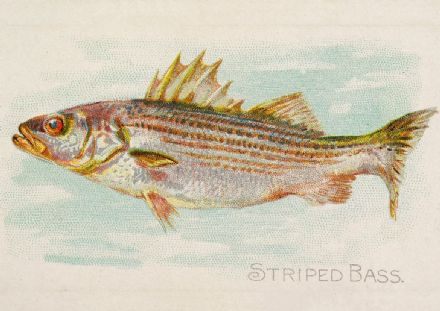 Striped Bass, from the Fish from American Waters series (N8) for Allen & Ginter Cigarettes (5228)